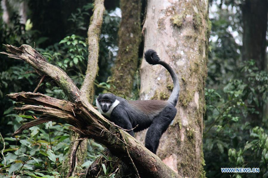 RWANDA-NYUNGWE NATIONAL PARK-PRIMATES