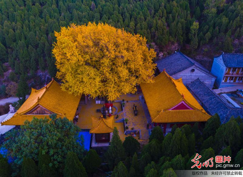 Amazing autumn of gingko tree in Jinan City, China's Shandong Province