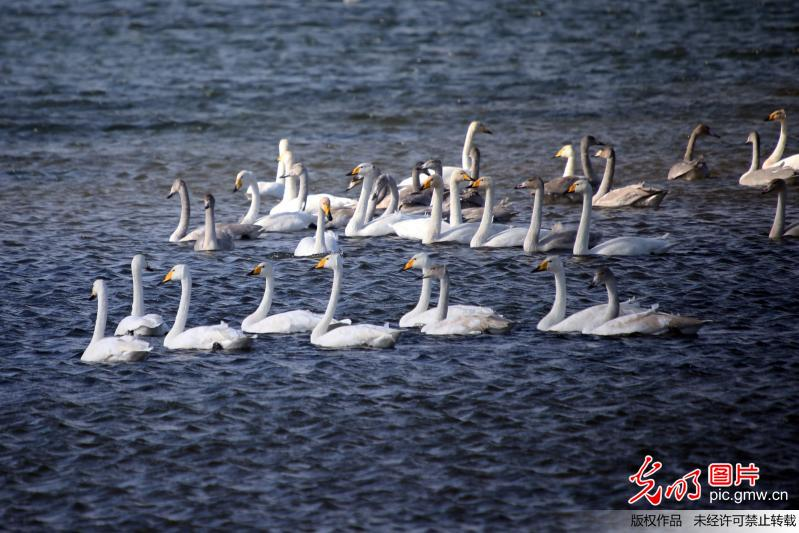 Whooper swans fly to spend winter in China's Shandong