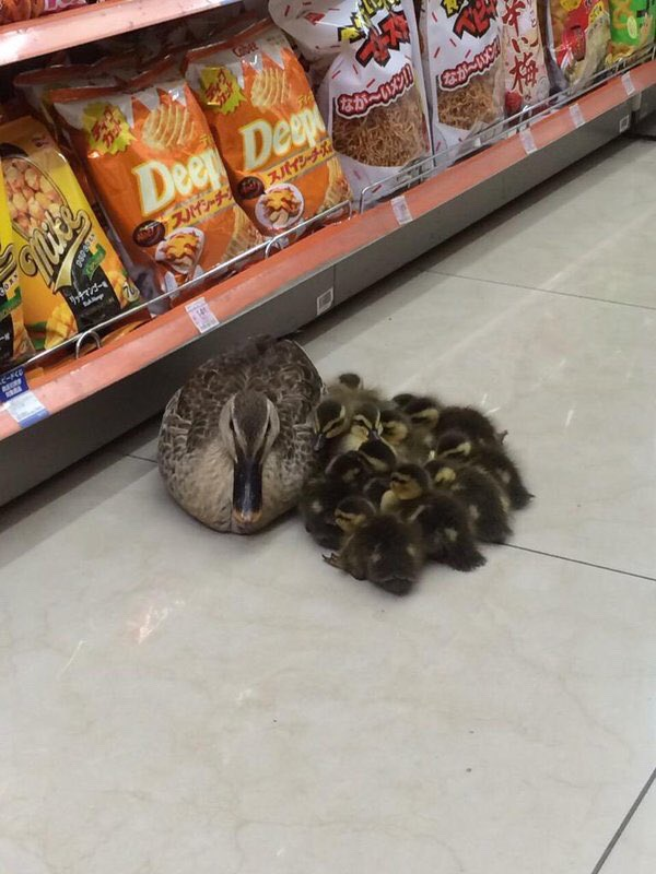 Why the duck family staying at supermarket