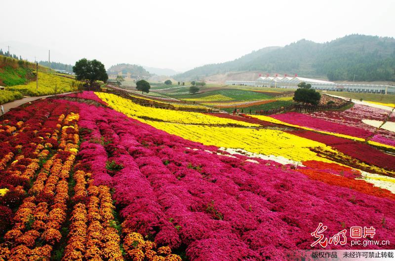 Blooming chrysanthemum displayed in Guizhou, SW China