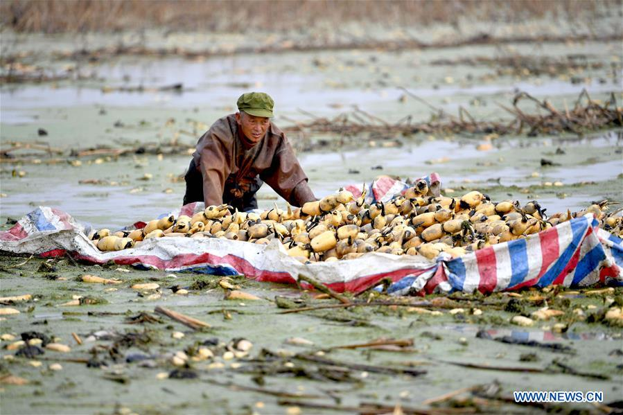 #CHINA-ANHUI-LOTUS ROOTS-HARVEST (CN)