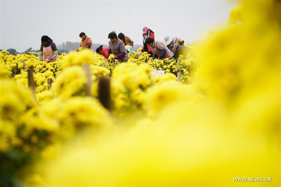 CHINA-JIANGSU-HUAI'AN-CHRYSANTHEMUM-HARVEST (CN)