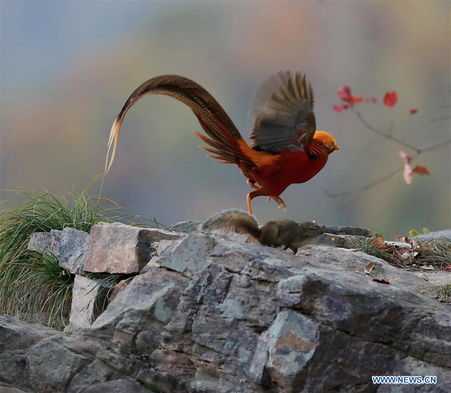 #CHINA-HENAN-PINDDINGSHAN-GOLDEN PHEASANT-SQUIRRELS (CN)