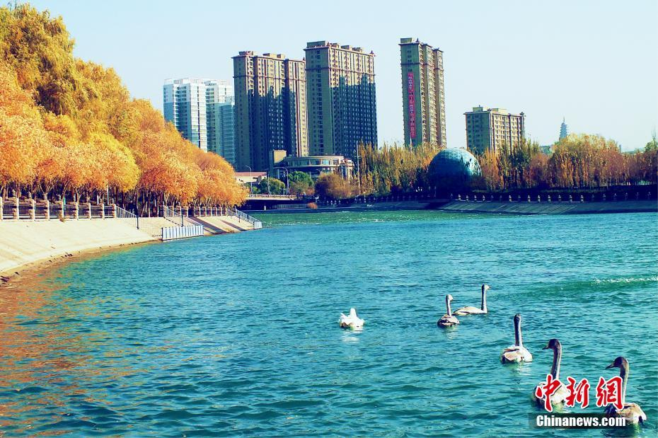 Swans seen in NW China's Xinjiang
