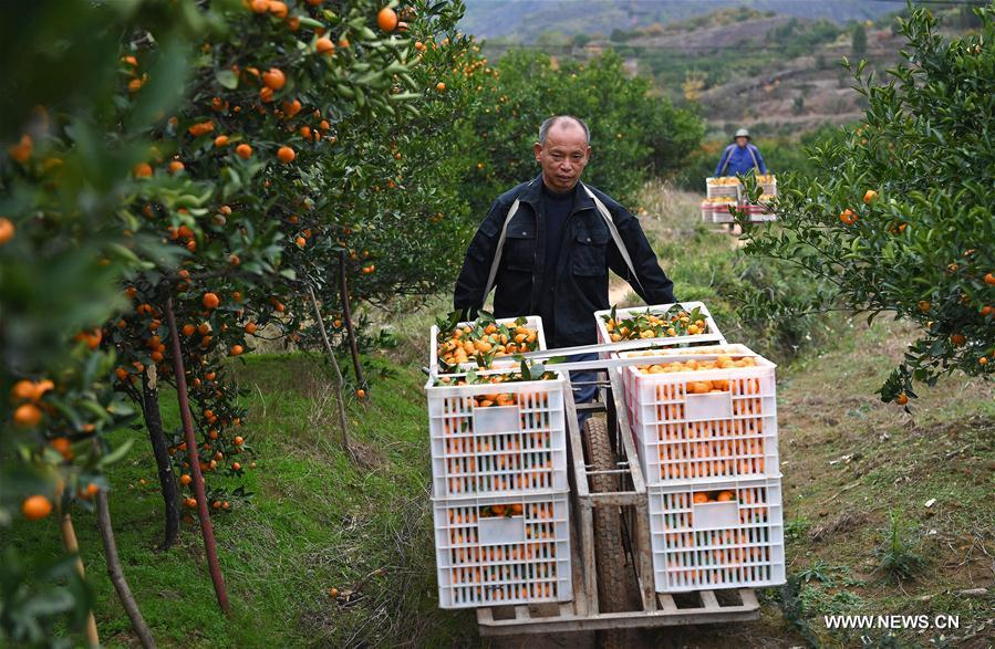 CHINA-JIANGXI-ORANGE-HARVEST (CN)