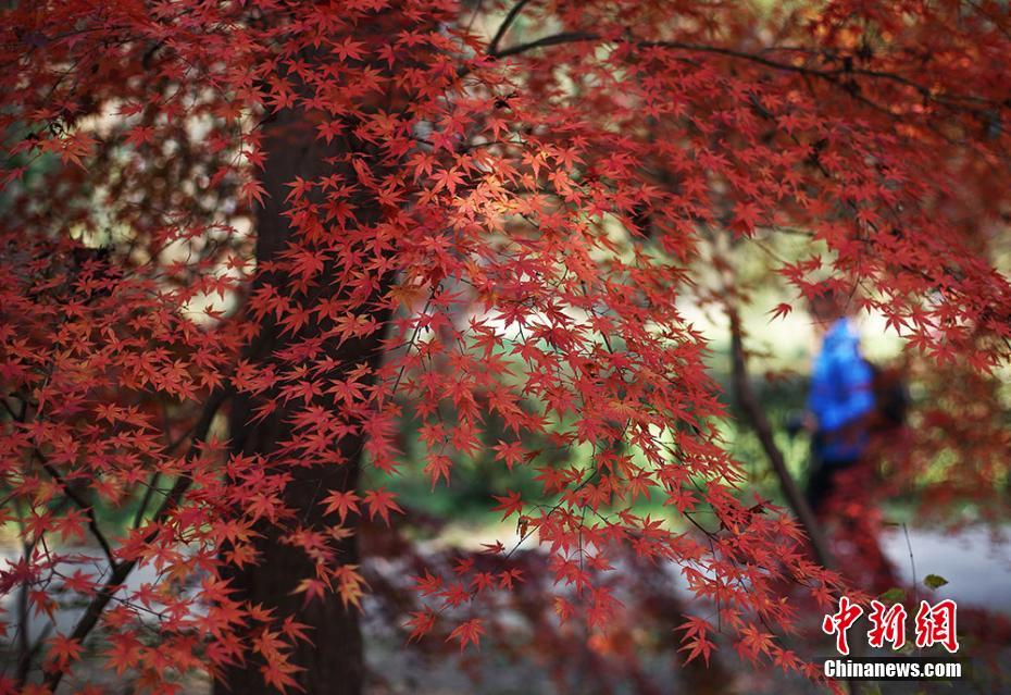 Tourists enjoy scenery of maple leaves in Nanjing, E China