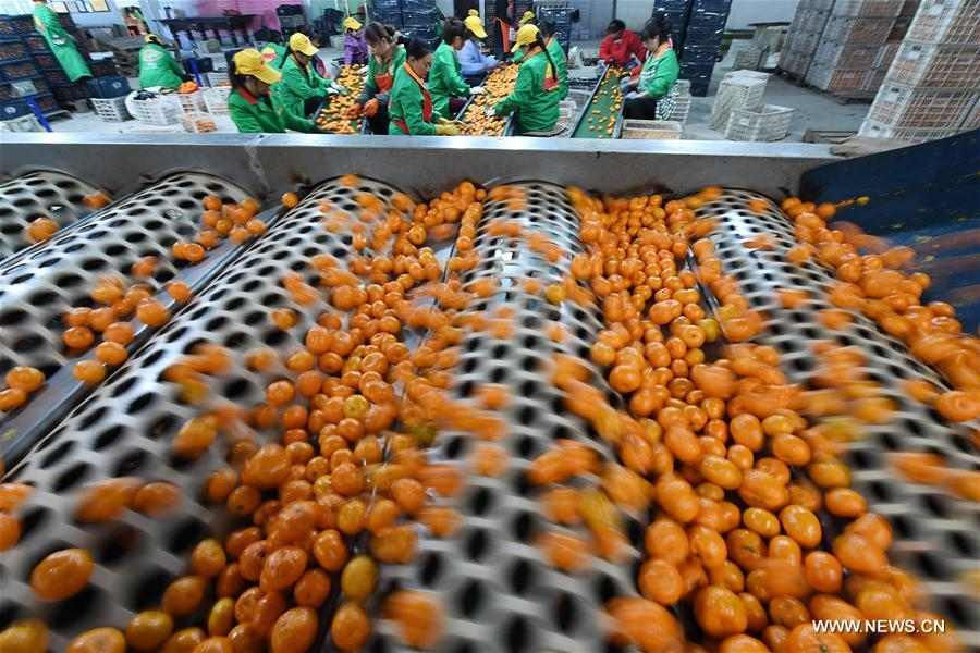 CHINA-JIANGXI-TANGERINE-POVERTY RELIEF (CN)
