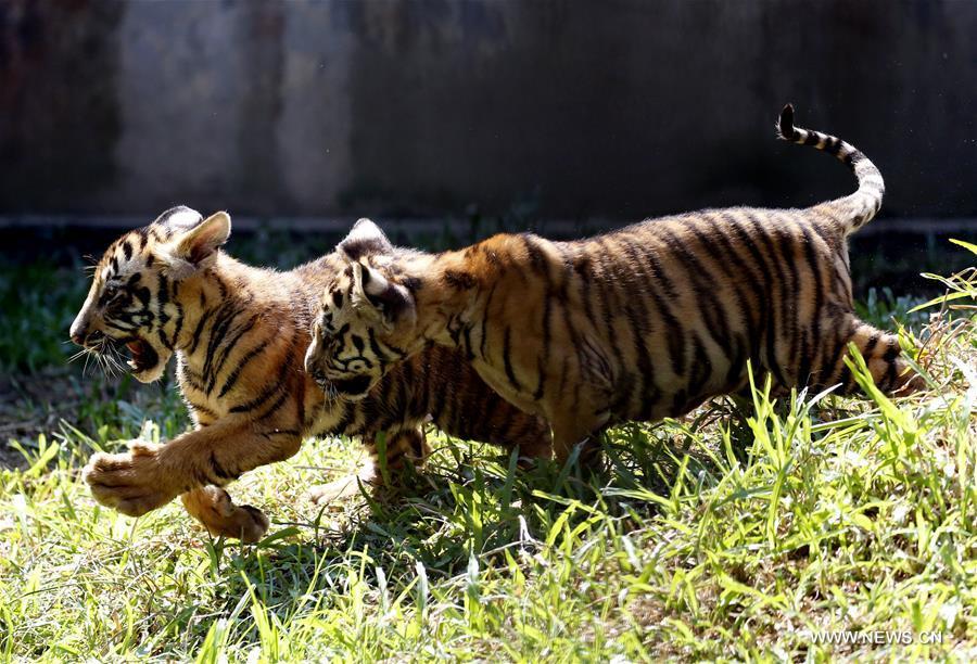 MYANMAR-YANGON-TIGER CUBS-PUBLIC PRESENTING