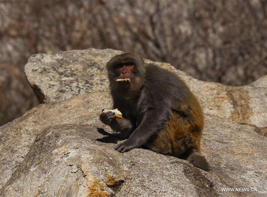 CHINA-TIBET-SHANNAN-MACAQUE (CN)