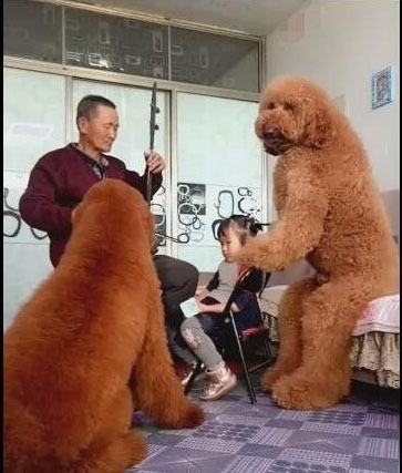 Giant poodles love listening to Grandpa's performance