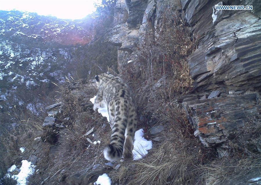 CHINA-TIBET-SNOW LEOPARDS-IMAGES(CN)