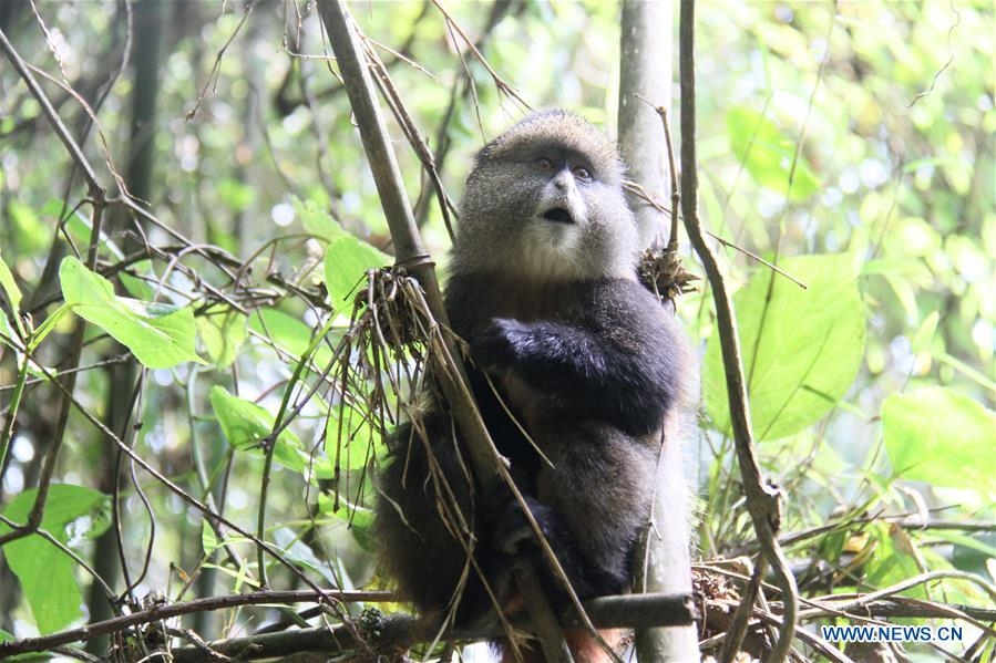 RWANDA-VOLCANOES NATIONAL PARK-GOLDEN MONKEY