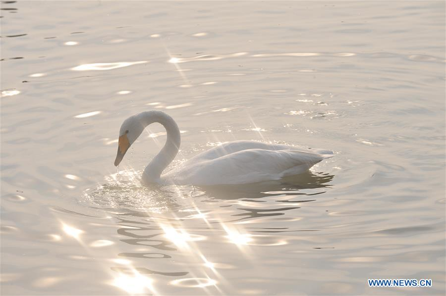 CHINA-SHANXI-WINTER-SWAN (CN)