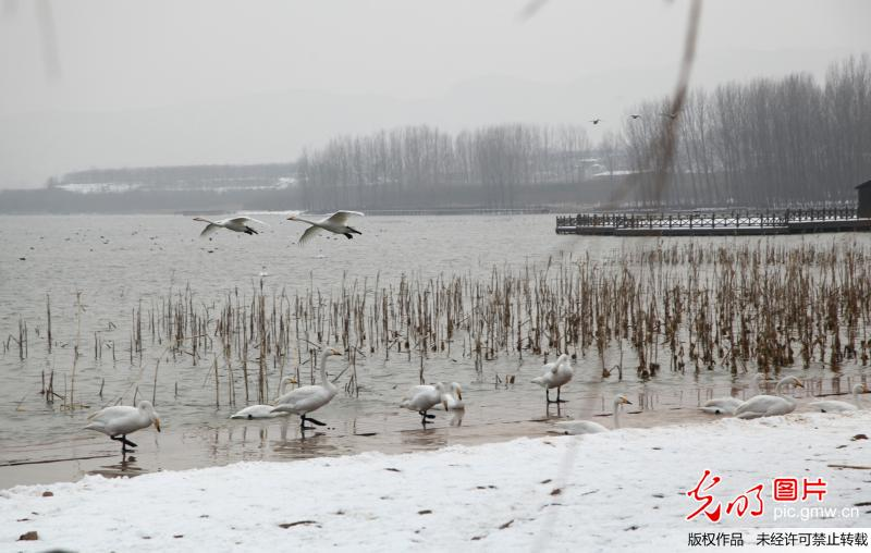 Swans seen in N China's Shanxi Province