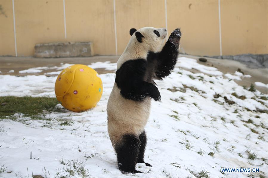 CHINA-SHAANXI-WINTER-GIANT PANDA