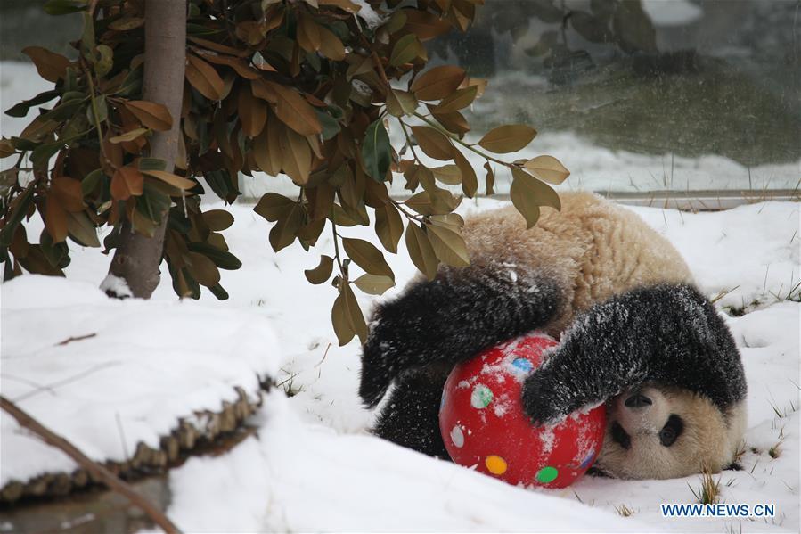 CHINA-SHAANXI-WINTER-GIANT PANDA (CN)
