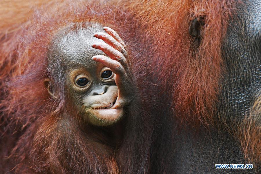 SINGAPORE-ZOO-NEWBORN ANIMALS