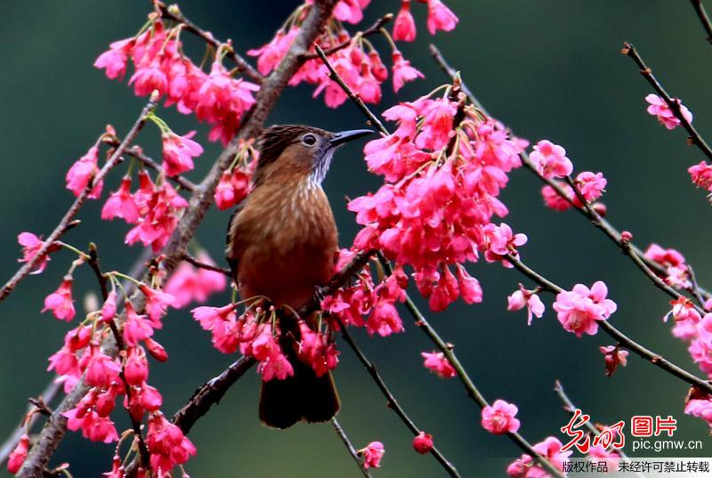 In pics: bird and blooming plum flowers in E China's Anhui Province