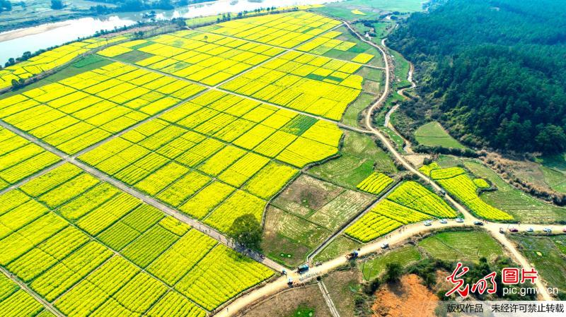 Aerial scenery of rapeseed flowers in east China's Jiangxi Province
