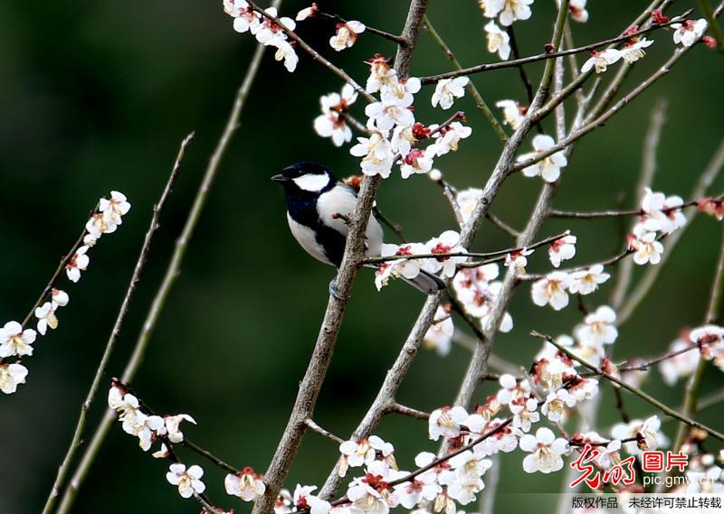 Cherry blossoms at Jinfo Mountain E China's Anhui