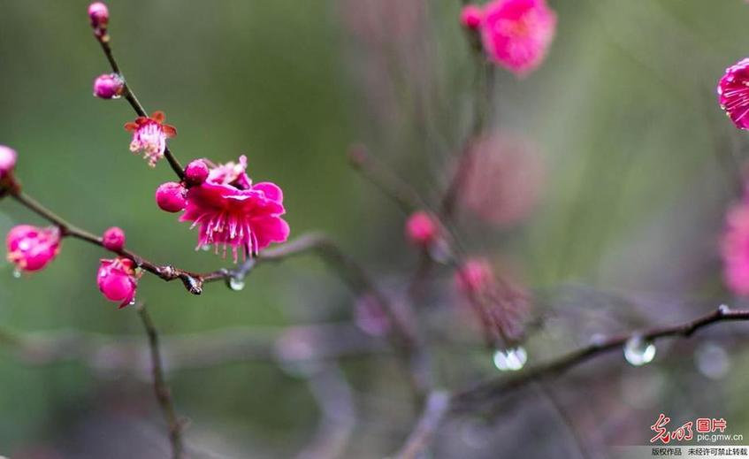 Red plum flowers in the rain