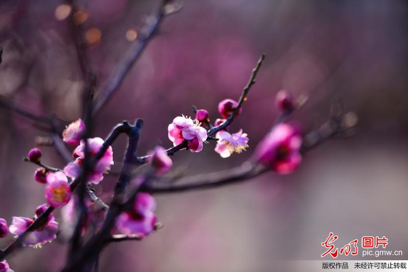 Blooming plum blossoms seen in C China's Henan
