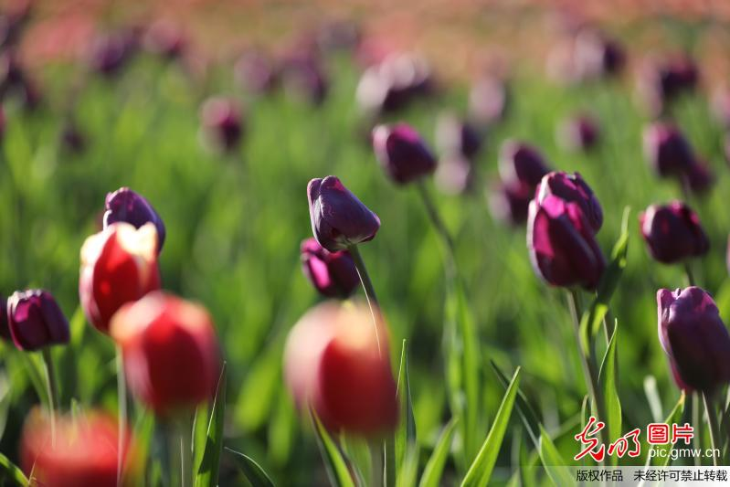 Scenery of tulips attract tourists in SW China's Guizhou Province