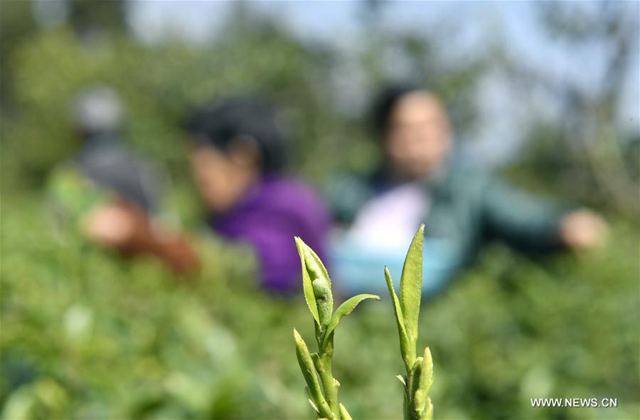#CHINA-SPRING-TEA(CN)
