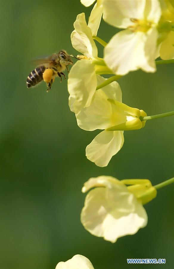 CHINA-JIANGXI-RAPE FLOWER-HONEY BEE-RESEARCH (CN)