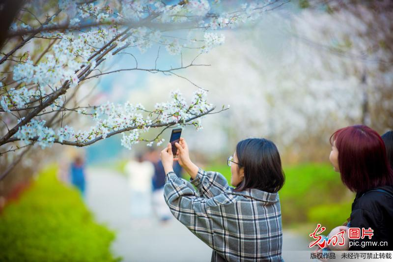 Tourists view cherry blossoms in SW China's Chongqing
