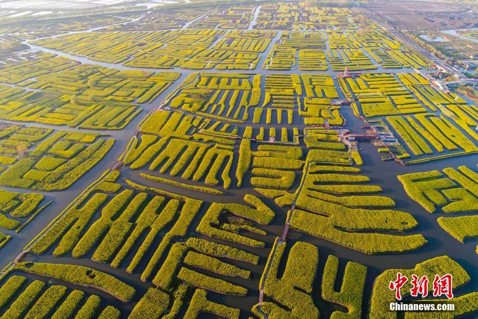 Sea of rape flower in Xinghua, China's Jiangsu