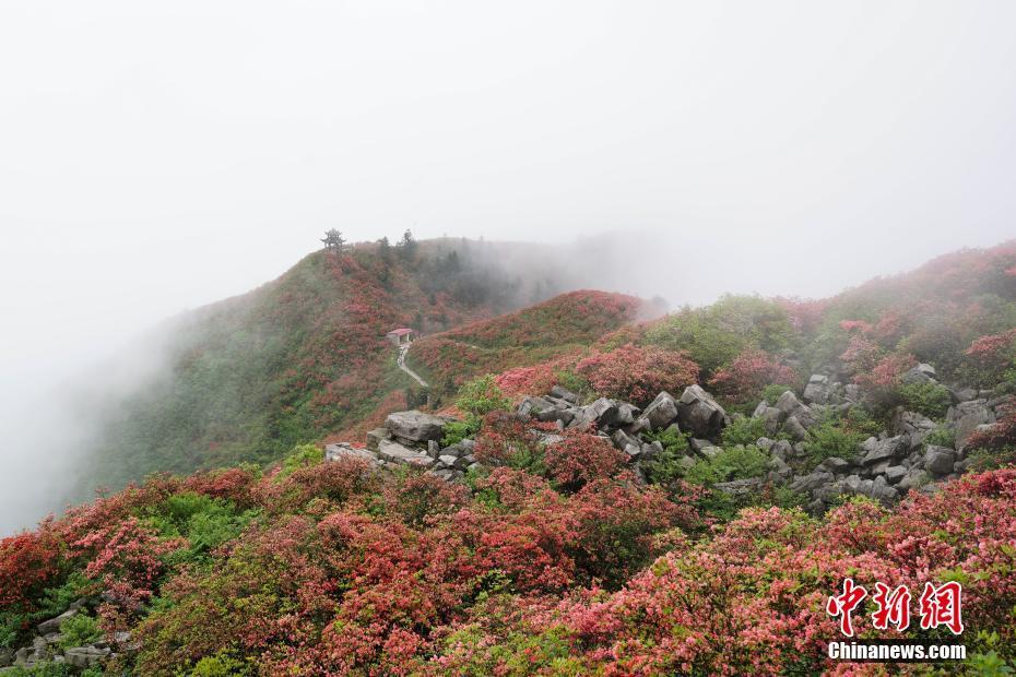 Tourist enjoy azaleas in SW China's Guizhou