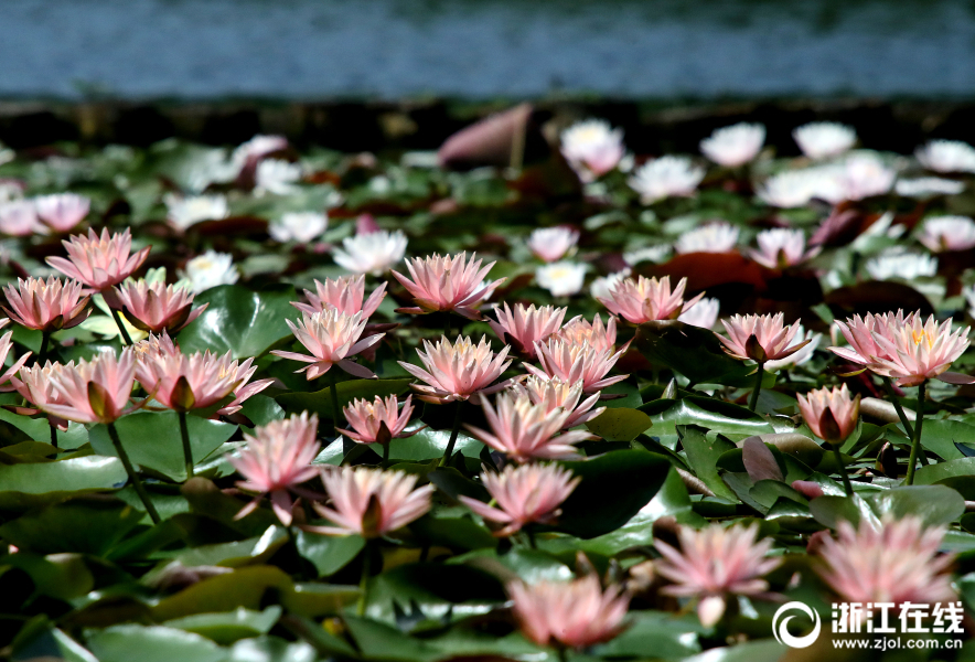 Water lily in full blossom in China's West Lake