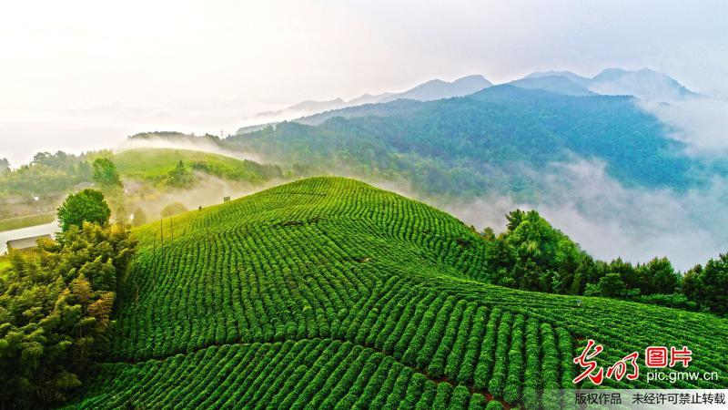 Fog scenery of tea garden in east China's Zhejiang