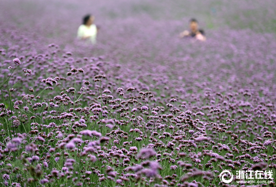 Sea of flowers in China's Hangzhou