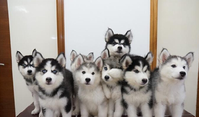 I never succeed in taking a perfect group photo of my Alaskan Malamutes...