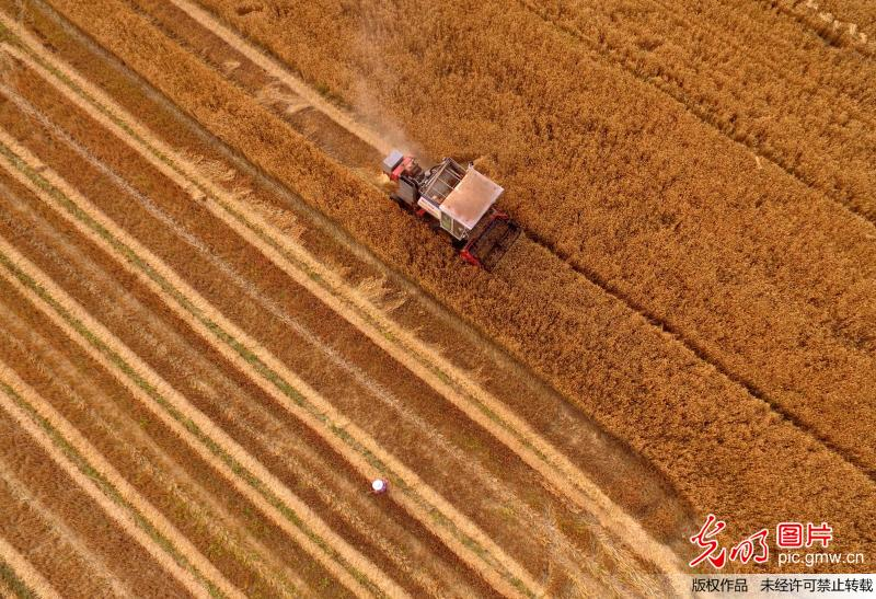 Scenery of wheat harvest in China's Shandong