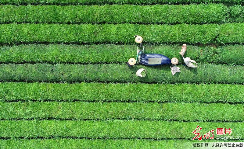 贵州松桃:机械化采茶便民又增收