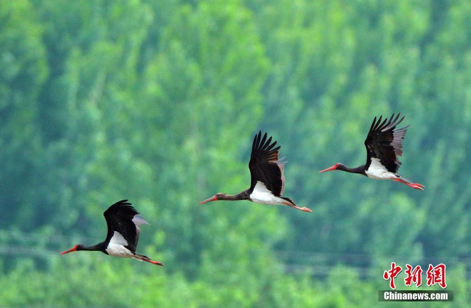 Black storks seen in China's Shijiazhuang