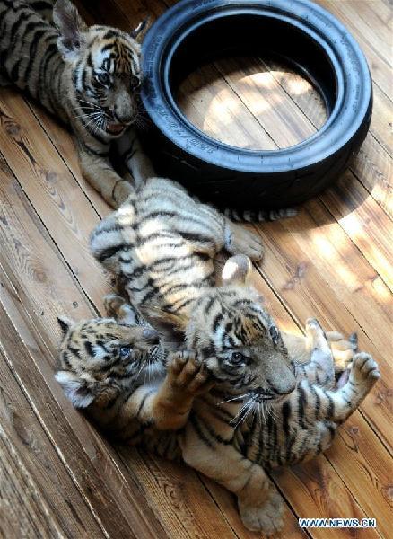 Three South China Tiger cubs play at breeding base in Suzhou, east Chinaang
