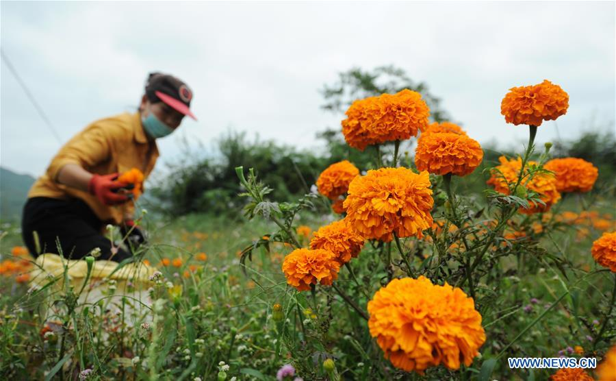 #CHINA-GUIZHOU-MARIGOLD-HARVEST (CN)