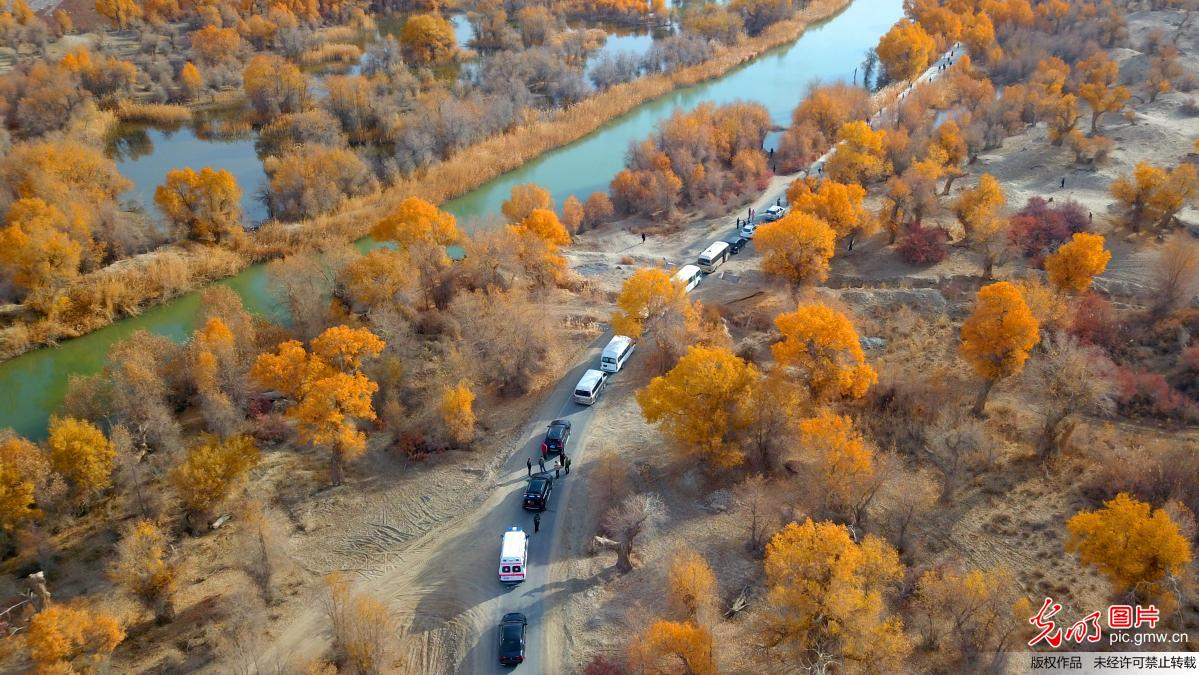 Autumn scenery of forest of populus euphratica in China's Xinjiang