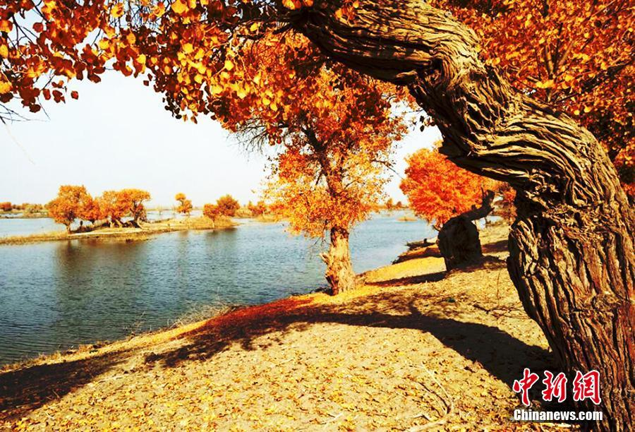 Picturesque scenery of populous euphratica forest in NW China's Xinjiang