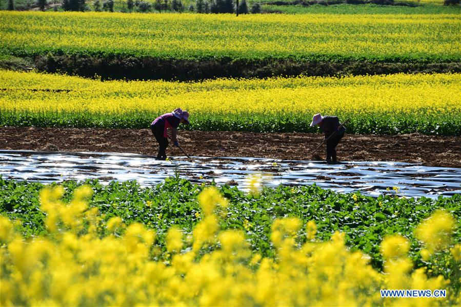 #CHINA-YUNNAN-LUOPING-COLE FLOWER(CN)
