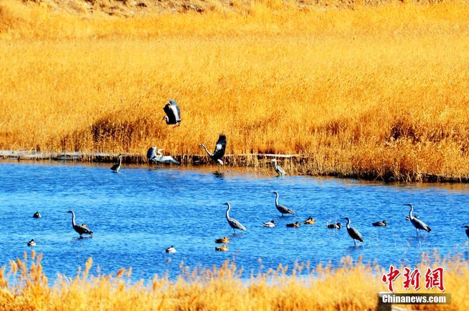 Grey herons seen at wetland in NW China's Qinghai