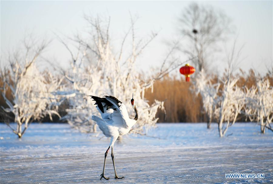 CHINA-HEILONGJIANG-RED-CROWNED CRANES (CN)