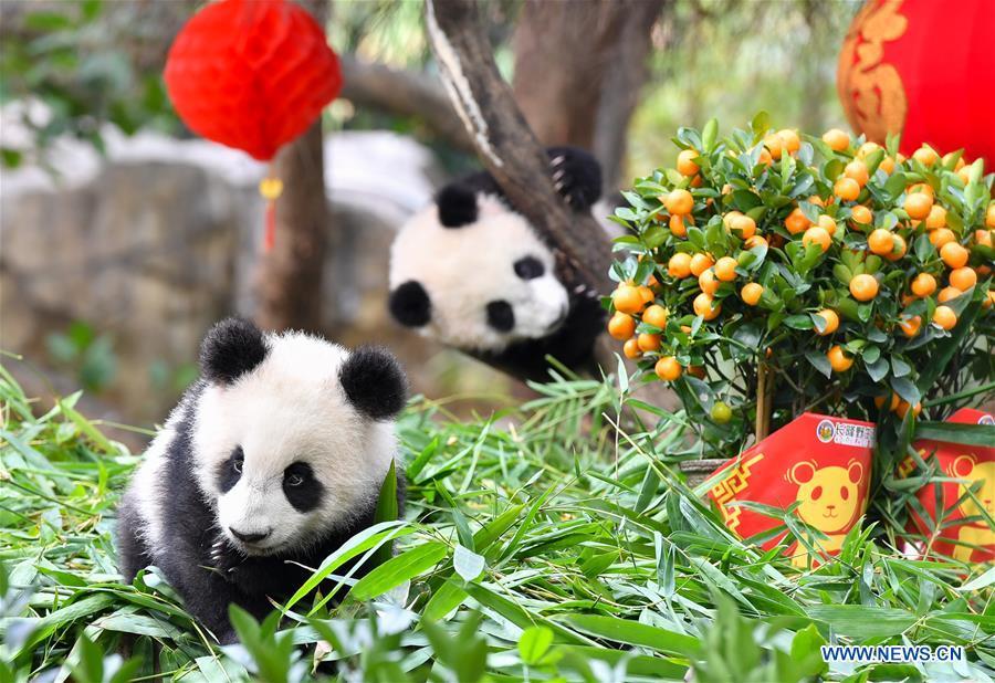 CHINA-GUANGZHOU-GIANT PANDA-SPRING FESTIVAL (CN)