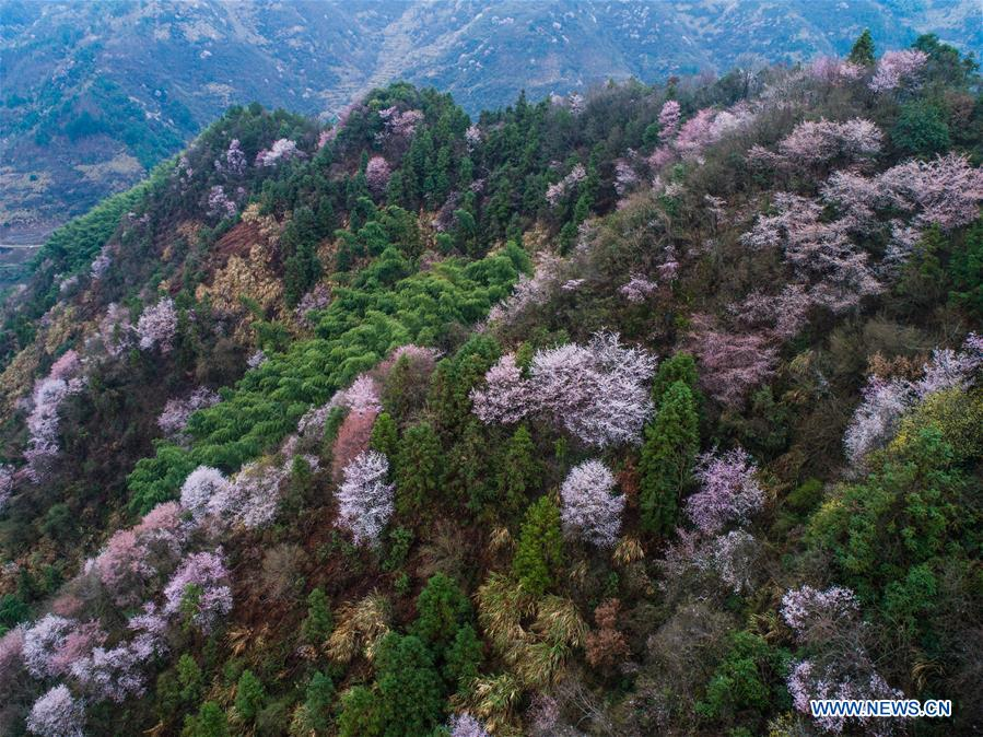 CHINA-JIANDE-CHERRY BLOSSOM (CN)