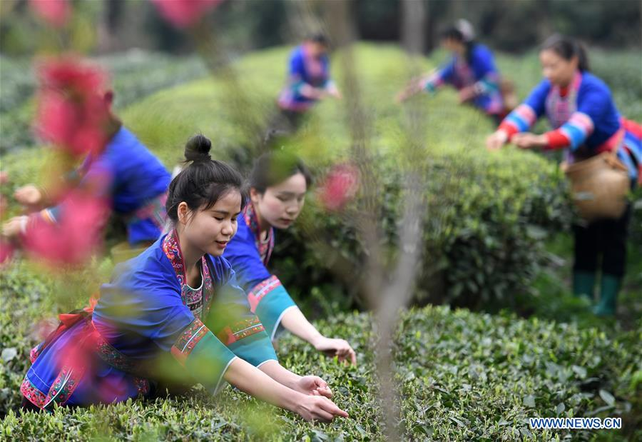 CHINA-GUANGXI-SANJIANG-SPRING TEA-HARVEST (CN)